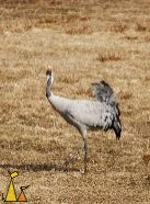 Puffed-up tail, Hornborgasjön, Sweden, bird, Grus grus, Common Crane, puffed up