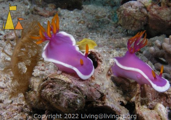 Purple nudibranches, Malapascua, Philippines, nudibranch, nudi, Hypselodoris bullocki, Purple-Gilled Hypselodoris, underwater, macro, laying eggs