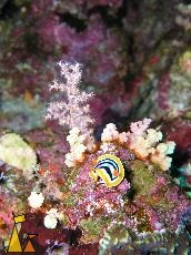 Pyjama slug, Red Sea, Egypt, underwater, nudi, Pyjama slug, Chromodoris quadricolor