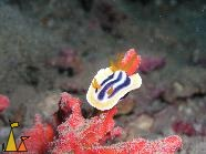 Pyjama slug, Red Sea, Sudan, audi, Pyjama slug, Chromodoris quadricolor
