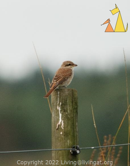 Red-backed Shrike, Angarnsjöängen, Sweden, bird, Red-backed Shrike, Lanius collurio