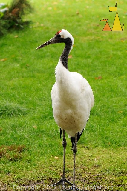 Red-crowned Cranes, Frankfurt, Germany, bird, Grus japonensis, zoo