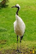 Red-crowned Cranes Looking Back, Frankfurt, Germany, bird, Grus japonensis, zoo