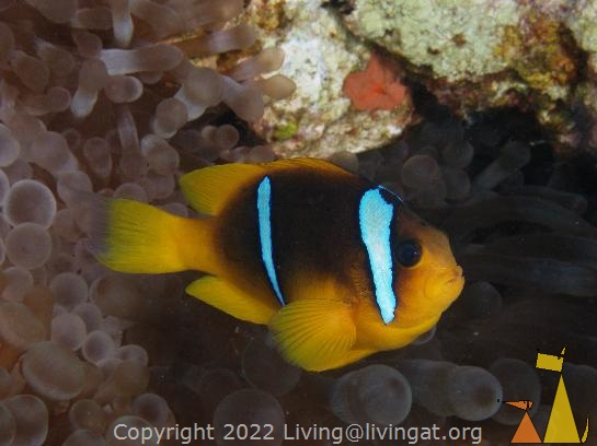 Red Sea Clown, Red Sea, Egypt, underwater, fish, anemone, Red Sea anemonefish, Amphiprion bicinctus