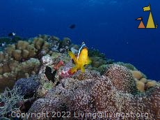 Red Sea anemonefish, Red Sea, Egypt, underwater, clown, fish, Red Sea anemonefish, Amphiprion bicinctus