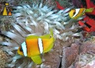 Red Sea anemonefish, Red Sea, Sudan, Underwater, clownfish, Red Sea anemonefish, Amphiprion bicinctus