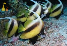 Red Sea bannerfish, Red Sea, Egypt, Underwater, fish, Red Sea bannerfish, Heniochus intermedius
