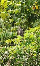 Red eye, Panama Canal, Panama, bird, bird of pray, Rostrhamus sociabilis, Snail Kite