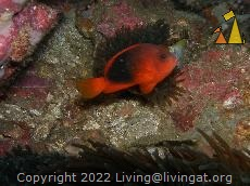 Red saddleback, Burma, Underwater, Red saddleback anemonefish, Amphiprion ephippium