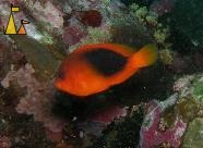 Red saddleback, Burma, underwater, fish, Red saddleback anemonefish, Amphiprion ephippium