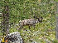 Reindeer in the Forrest, Ivalo, Finland, mammal, Rangifer tarandus, tree, forest, pine