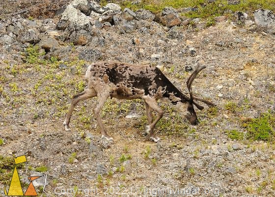 Reindeer on the Rocks, Ivalo, Finland, mammal, Rangifer tarandus, rocks