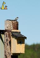 Resting Flycatcher, Landet, Sweden, bird, Ficedula hypoleuca, European Pied Flycatcher, pole, nest box