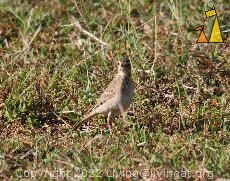 Richard's Pipit, Angkor Wat, Siem Reap, Cambodia, bird, Anthus richardi, Richard's Pipit