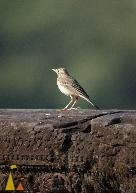 Richard's Pipit, Angkor Wat, Siem Reap, Cambodia, bird, Anthus richardi, Richard's Pipit, temple