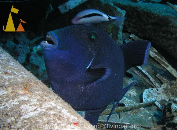 Rippled triggerfish, Salem Express, Red Sea, Egypt, Salem Express, underwater, fish, Blue triggerfish, Rippled triggerfieh, Pseudobalistes fuscus
