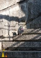 Rock pigeon on stairs, Kiev, Ukraine, bird, Rock pigeon, Columba livia, stairs