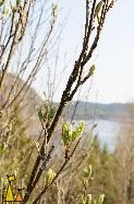 Rowan in Spring, Landet, Sweden, tree, leaves, Sorbus aucuparia, lake
