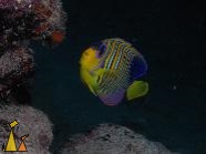 Royal angelfish, Red Sea, Egypt, underwater, fish, Royal angelfish, Pygoplites diacanthus