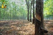 Rubber avenue, Cambodia, tree, rubber, Hevea brasiliensis, Para rubber tree, avenue