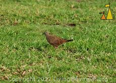 Ruddy Ground-Dove, Panama City, Panama, dove, bird, grass, lawn, Columbina talpacoti