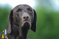 Sad eyes, Landet, Sweden, dog, portrait, Troll, Canis lupus familiaris, Deutsch Kurzhaar, Korthårig Vorsteh, German Shorthaired Pointer
