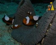 Saddleback anemonefish, Philippines, underwater, fish, Saddleback anemonefish, Amphiprion polymnus