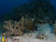 Sailfin, Red Sea, Egypt, underwater, fish, Zebrasoma desjardinii, Sailfin tang