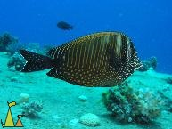 Sailfin Tang, Salem Express, Red Sea, Egypt, underwater, Desjardin's sailfin tang, fish, Sailfin Tang, Zebrasoma desjardinii