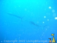 Sailfish, Laamu Atoll, Maldives, underwater, fish, Sailfish, Istiophorus platypterus
