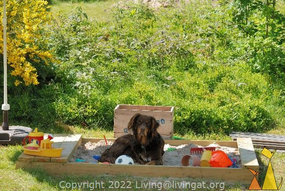 Sandboxed dog, Landet, Sweden, sandbox, dog, Canis lupus familiaris, Koffi