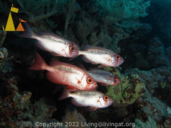 Scoal of Bigeyes, Red Sea, Egypt, underwater, fish, scoal, Priacanthus hamrur, Common bigeye