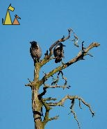 Scouts, Skansen, Stockholm, Sweden, dead tree, tree, blue, bird, Hooded crow, Corvus cornix