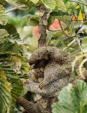 Scratching, Canopy Tower, Panama, mammal, Bradypus variegatus, Brown-throated Sloth, tree