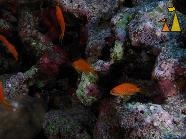 Sea goldie, Red Sea, Egypt, underwater, fish, Sea goldie, Pseudanthias squamipinnis
