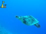 Sea turtle, Red Sea, Egypt, Swimming, Sea turtle, Egypt