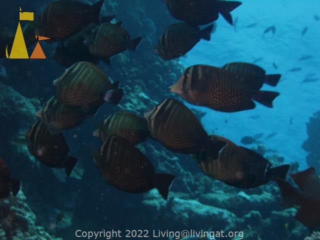 Shoal of Sailfin tangs, Red Sea, Egypt, underwater, fish, shoal, Zebrasoma desjardinii, Zebrasoma desjardinii