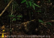 Showing me some tail, Canopy Tower, Panama, mammal, White-nosed coati, Nasua narica, eating, from behind