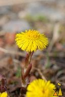 Sign of Spring, Landet, Sweden, plant, flower, yellow flower, Tussilago farfara, Coltsfoot