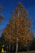 Silver Birch, Angarn, Sweden, autumn, tree, plant, Silver Birch, Betula pendula