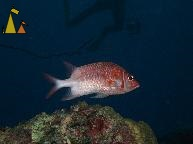 Silverspot squirrelfish, Red Sea, Egypt , underwater, fish, Swedish clown, legs, Silverspot squirrelfish, White-tail squirrelfish, Sargocentron caudimaculatum