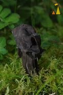 Slate grey saddle, Landet, Sweden, mushroom, Slate grey saddle, Helvella lacunosa