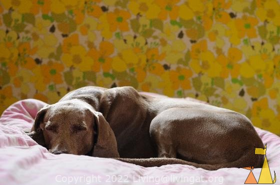 Sleeping beauty, Landet, Sweden, dog, Canis lupus familiaris, Doris, Weimaraner, The Grey Ghost, sleeping, yellow, pink