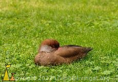 Sleepy rufina, Frankfurt zoo, Frankurt, Germany, bird, duck, Netta rufina, Red-crested Pochard