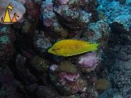 Sling-jaw wrasse, Red Sea, Egypt, underwater, fish, Sling-jaw wrasse, Epibulus insidiator