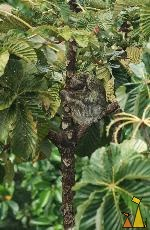 Sloth Taking Cover, Canopy Tower, Panama, mammal, Bradypus variegatus, Brown-throated Sloth, tree