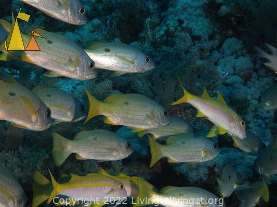 Snappers and Goats, Red Sea, Egypt, underwater, fish, scoal, Yellowfin goatfish, Mulloides vanicolensis, Dory snapper, Lutjanus fulviflamma, Mulloidichthys vanicolensis