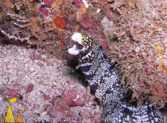 Snowflake in the open, Isla Coiba, Panama, underwater, moray, Echidna nebulosa, fish