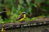 Social Flycatcher, Ammo Dump, Canal, Panama, bird, green, yellow, Myiozetetes similis, rails