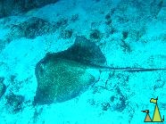 Southern stingray, Dominican Republic, underwater, Dasyatis americana, Southern stingray